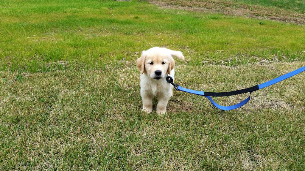 Golden Retriever Meeko as a puppy.