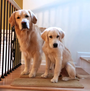 Golden Retrievers Meeko and Pascal being good boys on the stair landing.