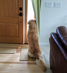 Golden Retriever Meeko looking out the front door window.